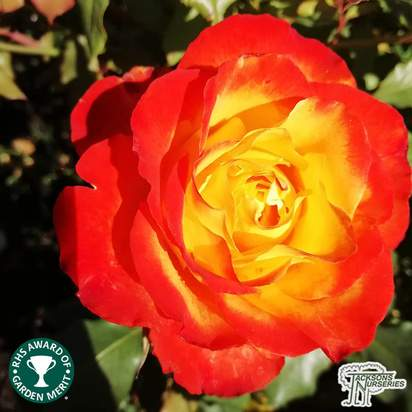 Buy Rosa Tequila Sunrise (Hybrid Tea Rose) online from Jacksons Nurseries
