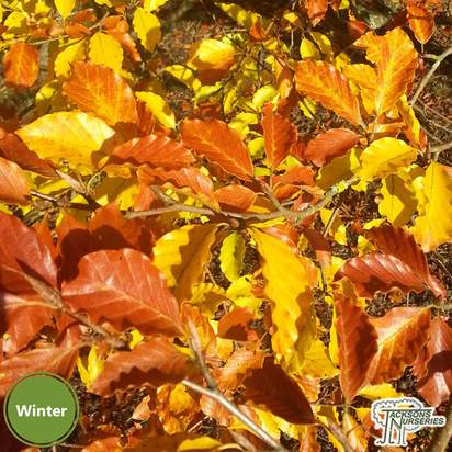 Buy Fagus Sylvatica from Jacksons Nurseries