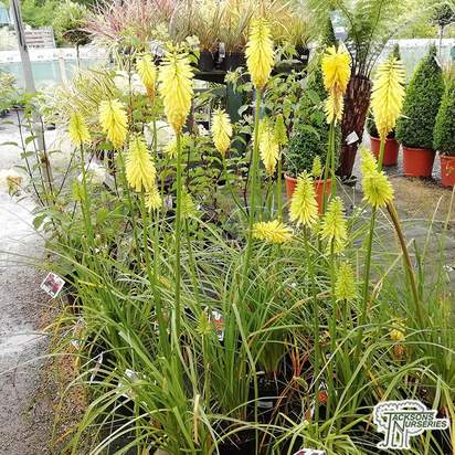 Buy Kniphofia 'Bees Lemon' (Red Hot Poker) in the UK
