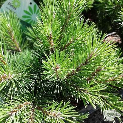Buy Pinus mugo 'Gnom' online from Jacksons Nurseries