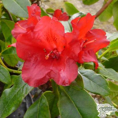 Buy Rhododendron Baden Baden at Jacksons Nurseries