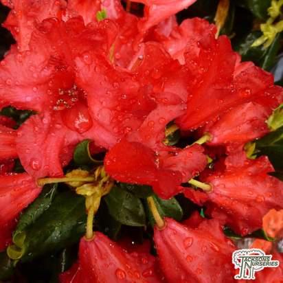 Buy Rhododendron Baden Baden at Jacksons Nurseries