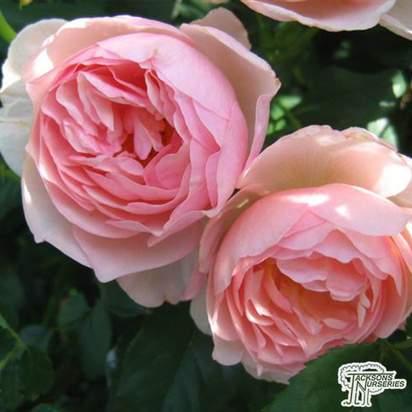 Buy Rosa Heritage online from Jacksons Nurseries