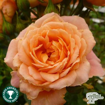 Buy Rosa Sweet Dream (Patio Rose) online from Jacksons Nurseries