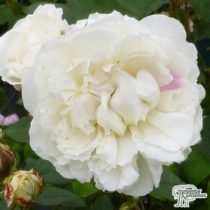 Buy Rosa Winchester Cathedral (English Shrub Rose) online from Jacksons Nurseries