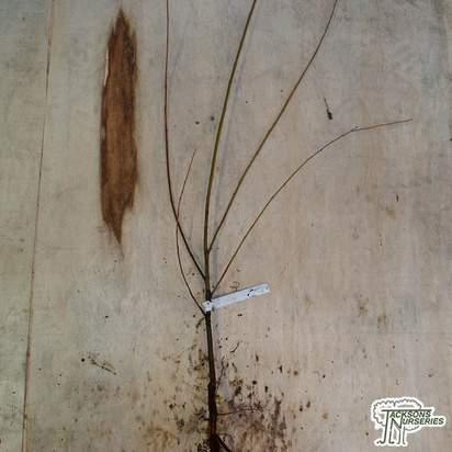 Buy Salix alba (Bare Root) online from Jacksons Nurseries