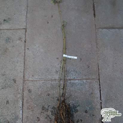 Buy Sambucus nigra 'Aurea' (Bare Root) online from Jacksons Nurseries