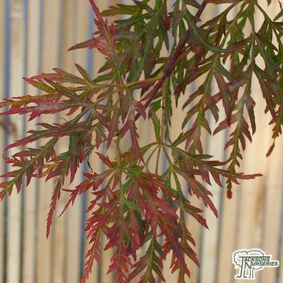 Buy Acer palmatum var. dissectum Inaba Shidare (Japanese Maple) online from Jacksons Nurseries