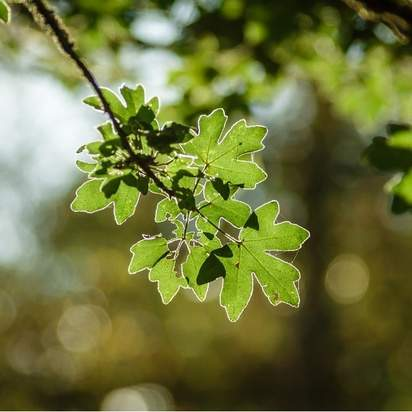 Acer Campestre bare root