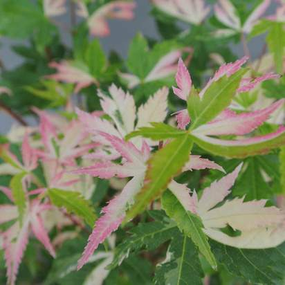 Buy Acer palmatum Asahi Zuru (Japanese Maple) online from Jacksons Nurseries