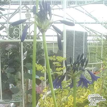 Buy Agapanthus 'Black Magic' (African Lily) online from Jacksons Nurseries.