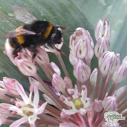 Buy Allium karataviense (Kara Tau garlic) online from Jacksons Nurseries.