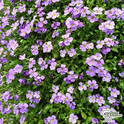 Buy Aubrieta Purple Cascade (Aubretia) online from Jacksons Nurseries