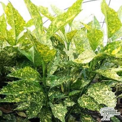 Buy Aucuba japonica Golden King (Japanese Laurel) online from Jacksons Nurseries.