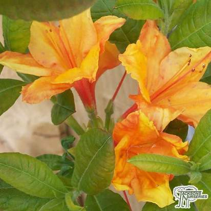 Buy Azalea ex/knap Klondyke' online from Jacksons Nurseries