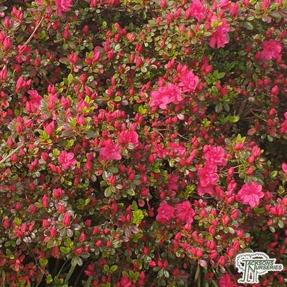 Buy Azalea japonica 'Diamond Red'  online from Jacksons Nurseries