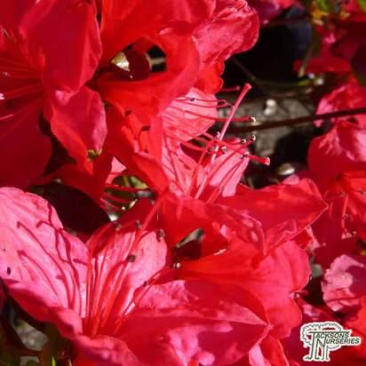 Buy Azalea japonica 'Stewartstonian' online from Jacksons Nurseries.
