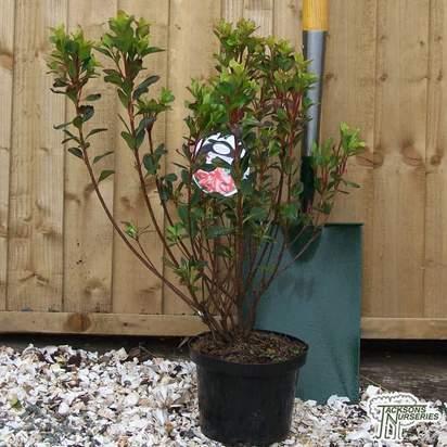 Buy Azalea japonica 'Stewartstonian' online from Jacksons Nurseries