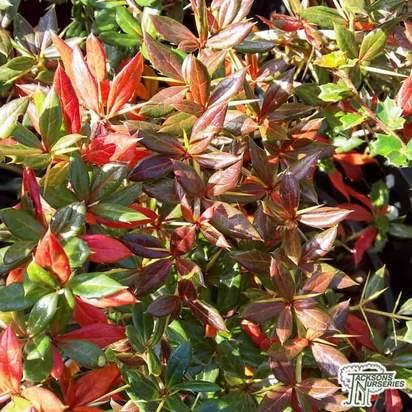 Buy Berberis x frikatii 'Amstelveen' (Barberry Amstelveen) online from Jacksons Nurseries