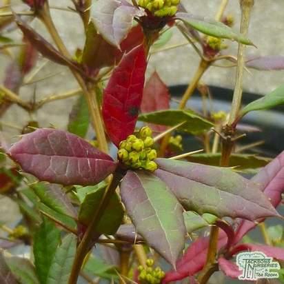 Berberis julianae bare root close up