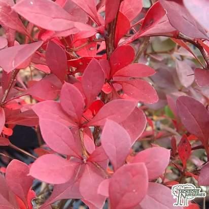 Buy Berberis thunbergii 'Atropurpurea' online from Jacksons Nurseries.