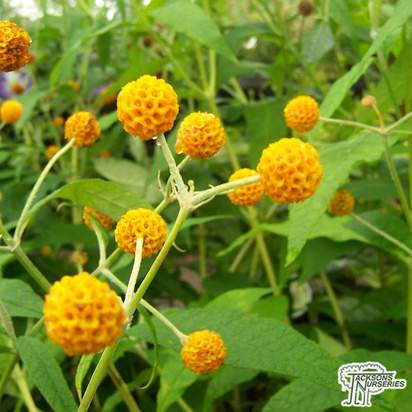 Buy Buddleja Globosa (Butterfly Bush) in the UK