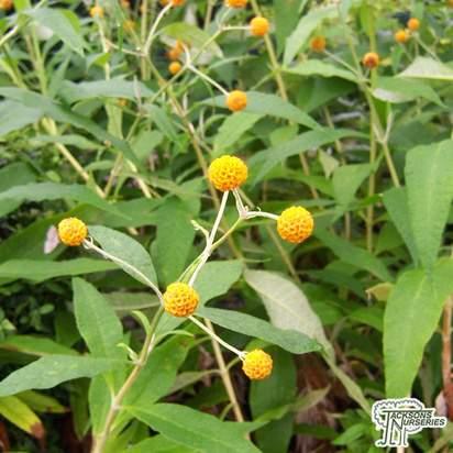 Buy Buddleja Globosa (Butterfly Bush) in the UK