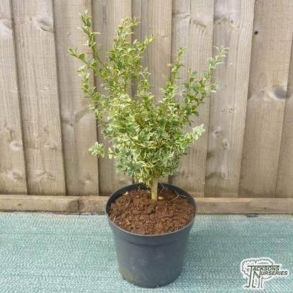 Buy Buxus sempervirens Argenteovariegata online from Jacksons Nurseries
