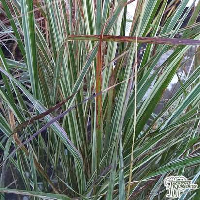 Buy Calamagrostis  x acutiflors 'Overdam' (Feather Reed-Grass) online from Jacksons Nurseries