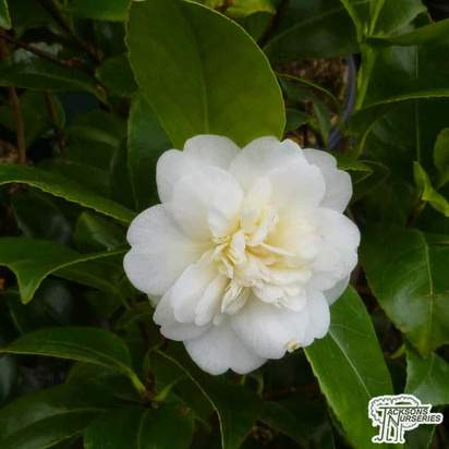 Buy Camellia japonica 'Alba Plena' online from Jacksons Nurseries.