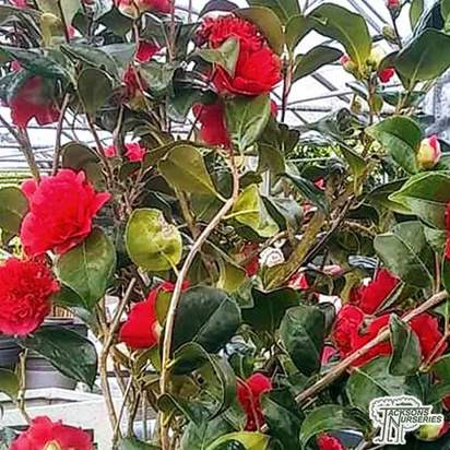 Buy Camellia japonica Lady campbell (Camellia) online from Jacksons Nurseries