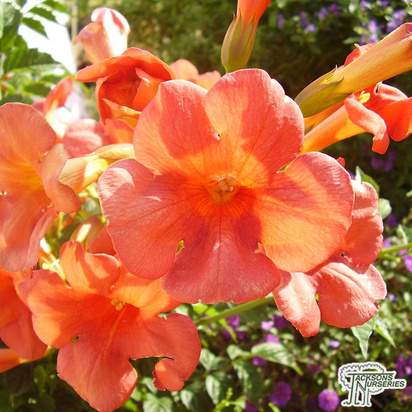 Buy Campsis tagliabuana Madame Galen (Trumpet Vine) in the UK