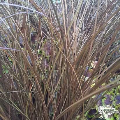 Buy Carex Carex comans Milk Chocolate (Bronze New Zeland hair Sedge) online from Jacksons Nurseries.