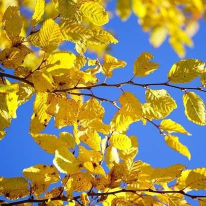 Carpinus betulus bare root autumn colour