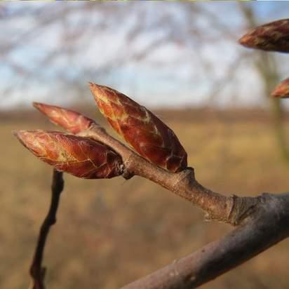 Carpinus betulus bare root bud