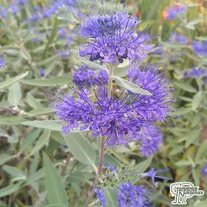 Buy Caryopteris x clandonensis Heavenly Blue (Bluebeard Lilac) online from Jacksons Nurseries.