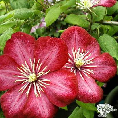 Buy Clematis Ville De Lyon (Clematis) in the UK