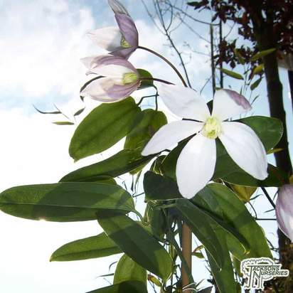 Buy Clematis armandii Apple Blossom (Evergreen Clematis) online from Jackson's Nurseries