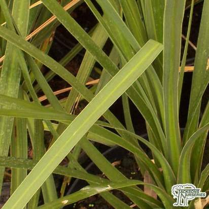 Buy Cordyline australis  (Cabbage Palm) online from Jacksons Nurseries.