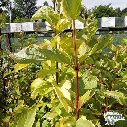 Buy Cornus alba Aurea (Red-barked Dogwood Golden Tartarean) in the UK