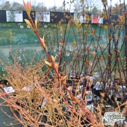 Buy Cornus alba 'Wintersun' (Red-barked Dogwood) online from Jacksons Nurseries