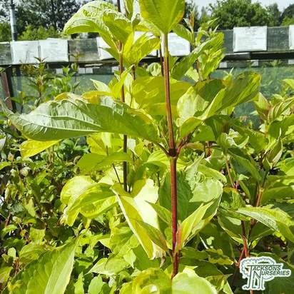 Buy Cornus alba aurea bare root
