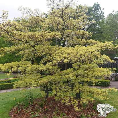 Buy Cornus contoversa (Giant Dogwood/Wedding Cake Tree) online from Jacksons Nurseries