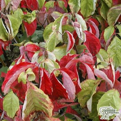 Buy Cornus florida Rainbow (Variegated Dogwood ) in the UK