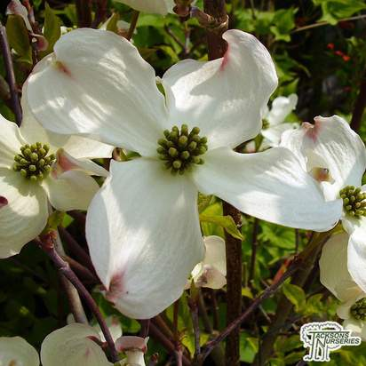 Buy Cornus florida Rainbow (Variegated Dogwood ) in the UK