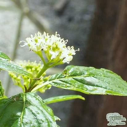 Buy Cornus sericea 'Flaviramea' Bare Root