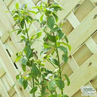 Cornus sericea Flaviramea bare root foliage