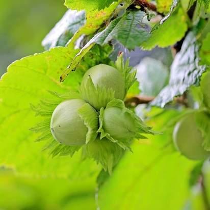 Corylus avellana bare root 3 hazelnuts