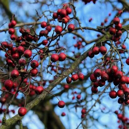 Crataegus monogyna bare root 4 berries bare branches