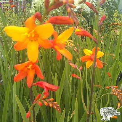 Buy Crocosmia 'Orange Pekoe' (Montbretia) online from Jacksons Nurseries.